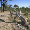 Fallen limbs of trees on the ground in the Khwai area of northern Botswana