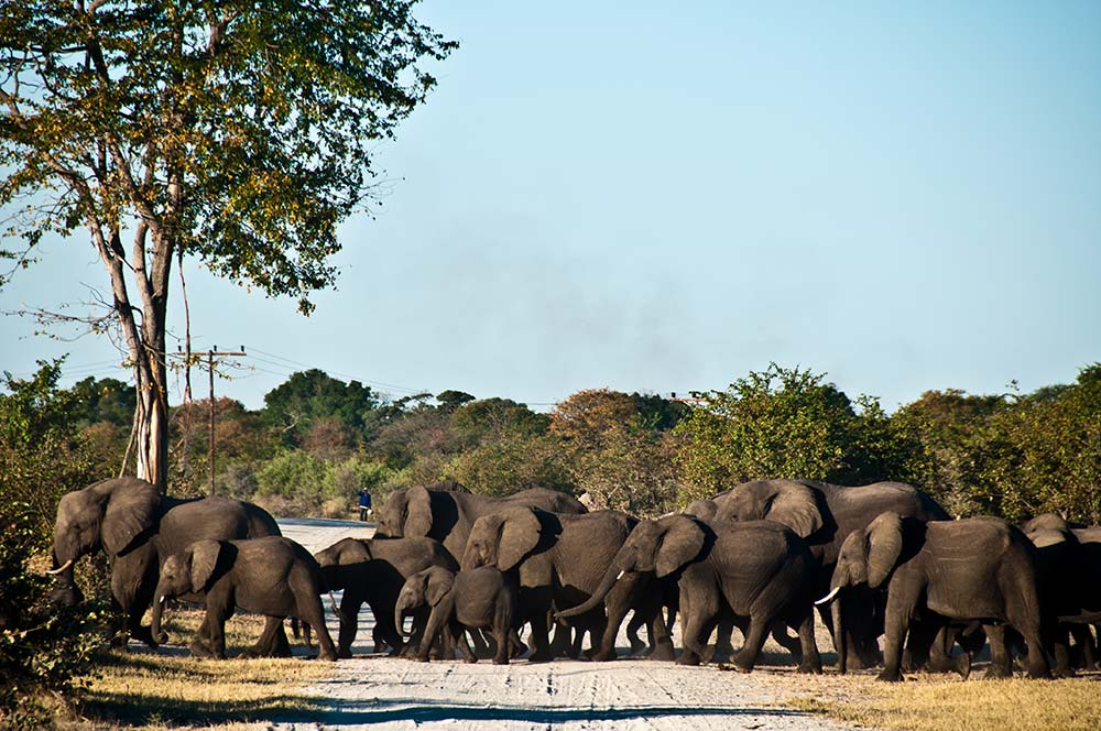 A herd of female elephant and their calves crossing a dust road in the Okavango Panhandle
